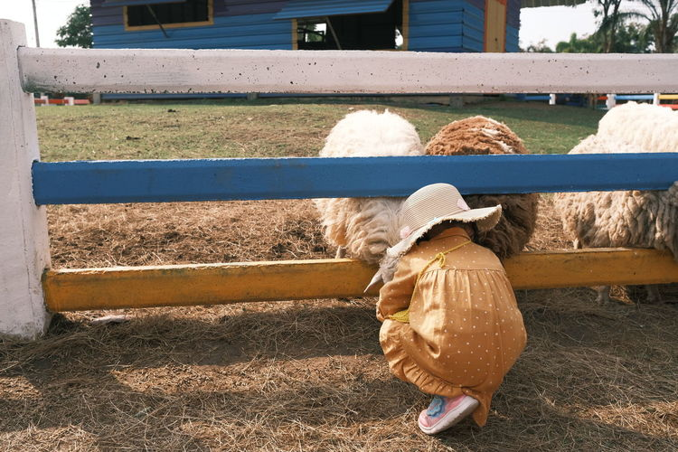 Childen feeding sheep