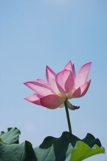 lotus Flower Flowering Plant Petal Plant Freshness Pink Color Beauty In Nature Vulnerability  Fragility Flower Head Inflorescence Close-up Growth Sky Nature Leaf Plant Part Water Lily Clear Sky Lotus Water Lily No People Sepal Lotus Lotus Flower Lotus Pond Lotus Leaf Lotus Position