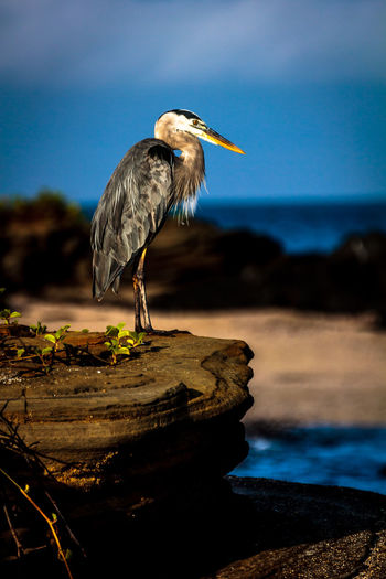 Close-up of blue heron perching on rock by sea against sky