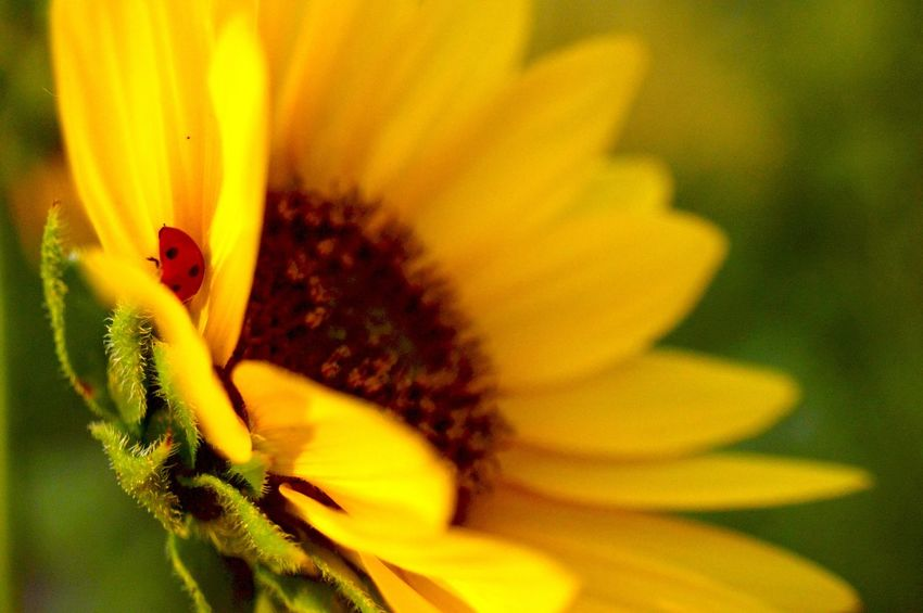 Lady bug between pedals Lusk Wyoming Sunny Afternoon Beauty In Nature Pretty Yellow Pedals Close-up