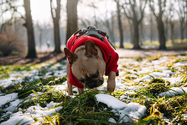 French bulldog dog playing in the snow in park during winter