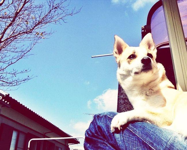 Dog Basking In The Sun ひなたぼっこ マロン