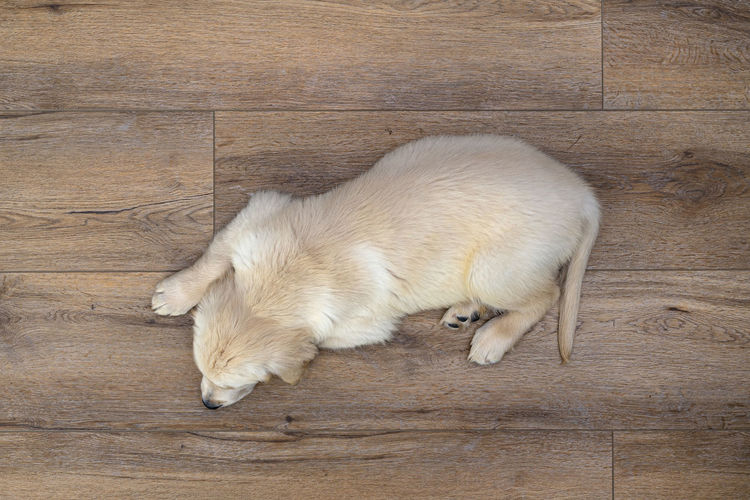 High angle view of puppy sleeping on wooden floor