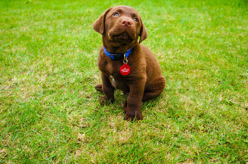 Labrador retriever puppy sitting on grass in park