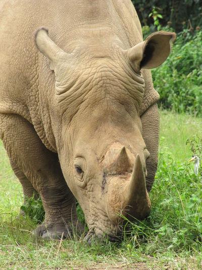 Unganda Rhino Rhinoceros Animal One Animal Animals In The Wild Animal Wildlife No People Horned Animal Head  Herbivorous Close-up Endangered Species Entebbe