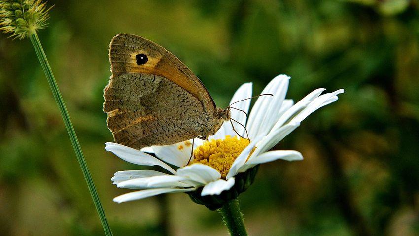 Nikond90 Butterfly Flowers Nature Niksar Nikon D90 Animal Eye4photography  EyeEm Nature Lover Daisy
