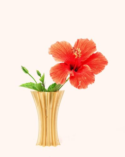 Flower Plant Leaf Flower Head Growth Cultivated Nature Green Color Beauty In Nature Fragility Indoors  White Background No People FreshnessClose-up Day Blooming Bloom Macro Photography Hibiscus Flower Hibiscus 🌺