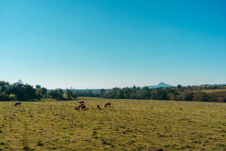 Field Sky Land Mammal Landscape Environment Plant Animal Themes Animal Domestic Animals Grass Livestock Clear Sky Group Of Animals Tree Nature Domestic Pets Blue Tranquil Scene No People Outdoors Herbivorous
