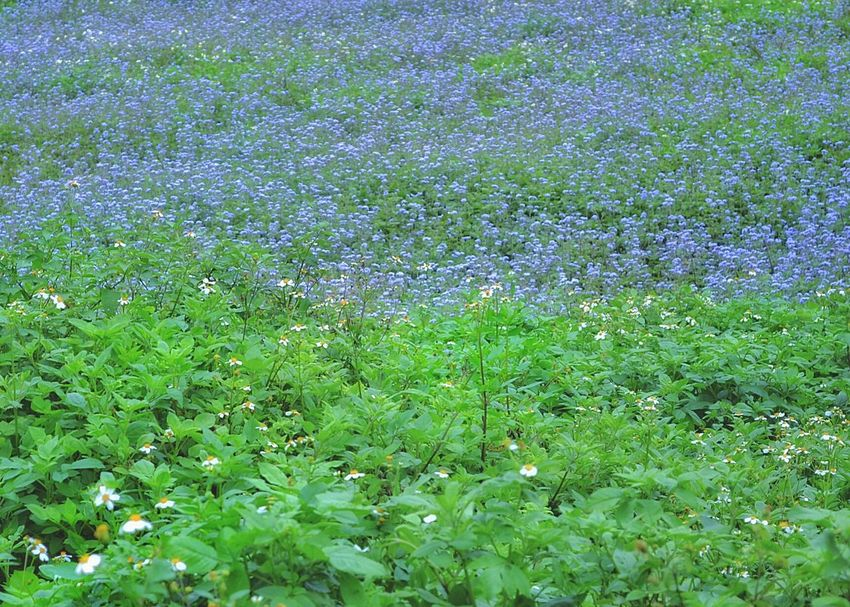 ⑭さらに歩いた🚶野原の向こうに... Wild Flowers Field Purple Flowers Purple Flower No People Relaxing Nature Nature Photography Flowers, Nature And Beauty Landscapes Fieldscape Green Hunter😁🌿🌿 EyeEm Nature Lover Eye4photography  EyeEm Best Shots EyeEm Gallery Showcase April The Great Outdoors - 2016 EyeEm Awards ゆf The Essence Of Summer Travel Photography Travel 2016.04.01 at 臺中市后里區泰安村 Taiwan