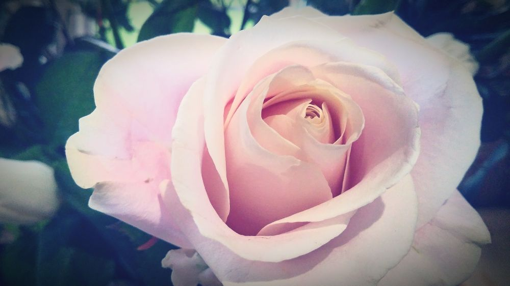 Sweet Avalanche Viginete Indoors  Plant Pink Color Vibrant Color Green Color Flower Petal Rose - Flower Nature Fragility Flower Head Beauty In Nature Close-up
