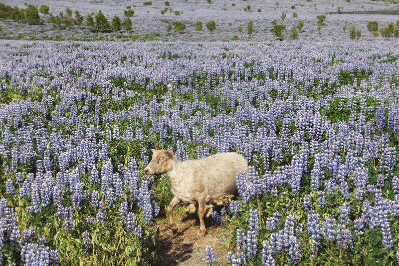 Goat in a lupine field in Iceland Iceland Lupine Animal Plant Animal Themes Mammal Field Land Beauty In Nature Livestock Flowering Plant Nature