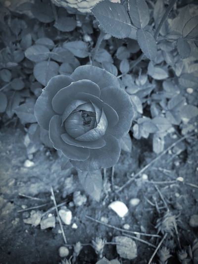 Rose🌹 Blackandwhite Beautiful Hungary Abda IPhone SE Lost Colors Garden Summer