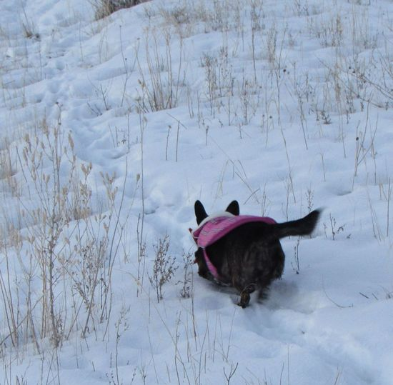 Cold Cold Day Cold Days Cold Temperature Cold Weather Cold Winter ❄⛄ Coldweather Corgi Cute Cute Dog  Cute Pets Cute♡ Dog Dogs Dogslife Snow Snow Day Snow ❄ Snowy Weather Welsh Corgi Winter Wintertime