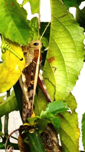 Grasshopper camouflaged in passion fruit vine growing in Uganda Tendrils Camouflaged Insect Nature Bug Eyed Antenna Leaf Insect Close-up Plant Green Color Leaf Vein Vine Leaves