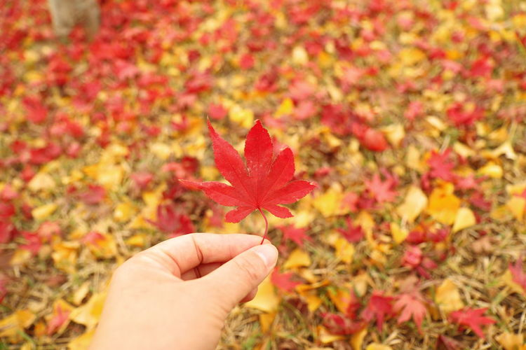 Close-Up Of Hand On Red Maple Leaves