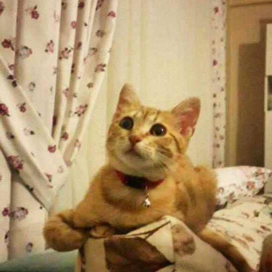 Kavun a.k.a japonsever Cat Yakışıklı Animals Çorlu