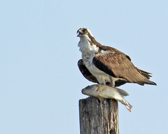 Animals In The Wild Bird Osprey  Outdoors