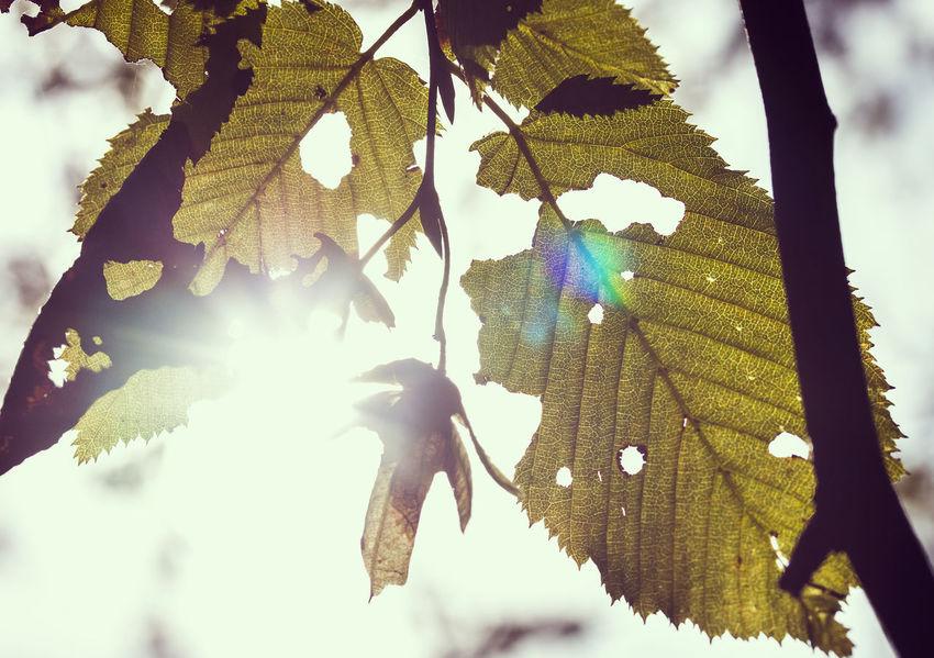 Autumn Backdrop Background Beauty In Nature Bokeh Close-up Closeup Desktop Eye Em Nature Lover EyeEm Best Shots First Eyeem Photo Flowers Grass Growth Leaves Melancholy Nature Plants Screensaver Shallow Depth Of Field Structure Sunlight Trees Veins Veins In Leaves