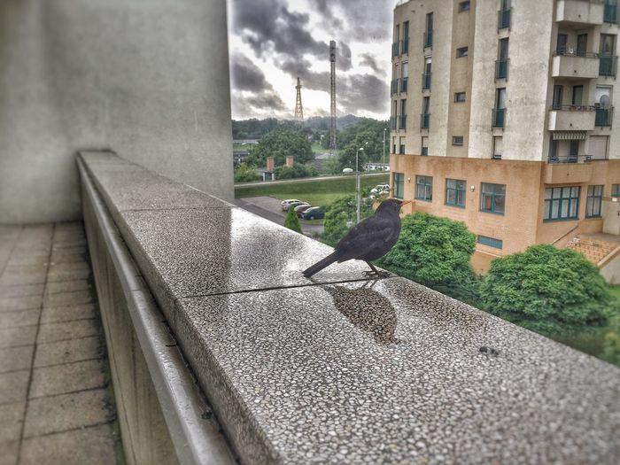 Bird Bird Photography Birds_collection Birds Of EyeEm  Birdwatching Rain Rainy Days Szeged Blackbird Blackbird'seye Blackbirds And Cloudy Sky