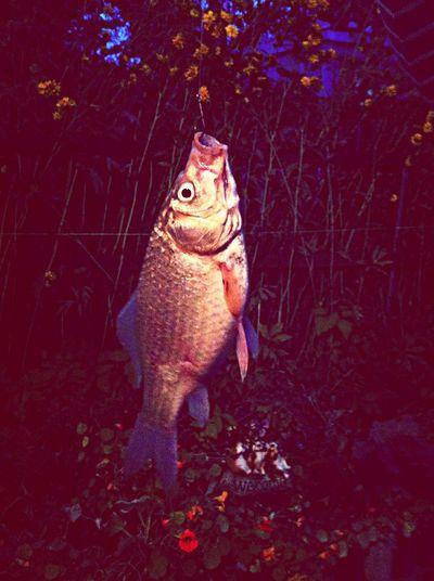 Fish Holiday Evening