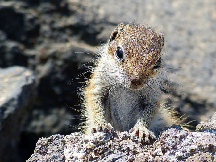 Animal Themes Animal Wildlife Animals In The Wild Atlashörnchen Baby Animals Close-up Cute Animals Erdhörnchen Fuerteventura Ground Squirrel Mammal One Animal Barbary Ground Squirrel Berberhörnchen Cuteness Overload Canary Islands Animals Of Eyeem Selective Focus Focus On Foreground