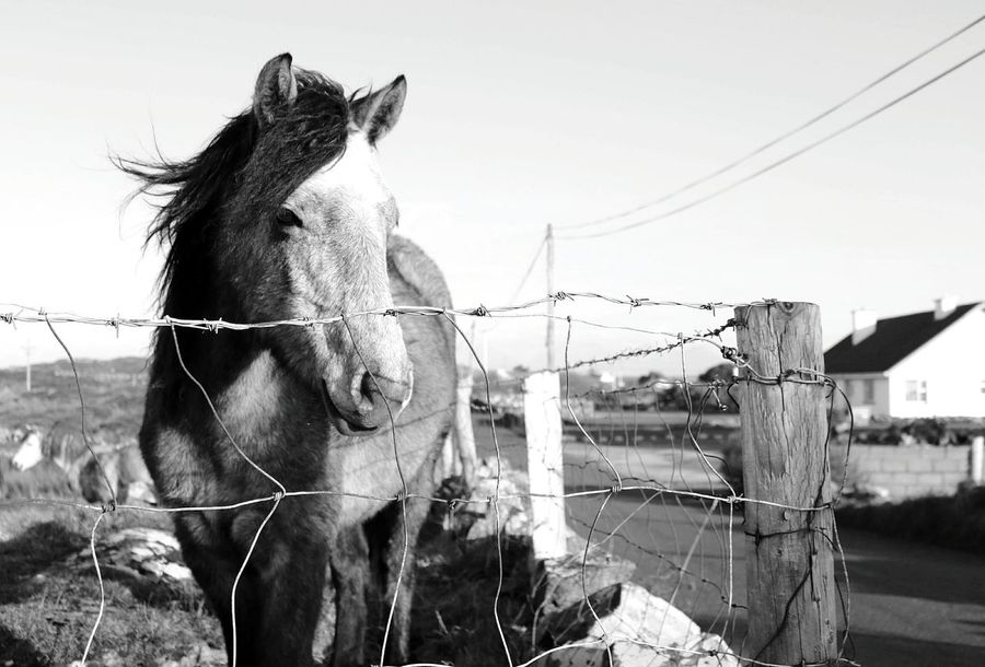 friendly horse in Connemara, west of IrelandHorse Domestic Animals Animal Themes EyeEm Best Shots - Black + White EyeEm Best Shots - Nature Outdoors Day EyeEm Gallery Landscape Cloud - Sky Travel Ireland Ireland Landscapes Scenics Nature No People EyeEm Best Shots Connemara Connemara National Park Beauty In Nature Horses Horse Photography  Horse Life Horse Finding New Frontiers Perspectives On Nature Black And White Friday