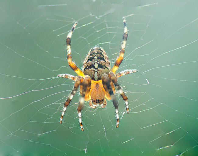 Garden Spider in the web with a background sunlight Araneus Diadematus Animal Bug Wildlife High Angle View Arthropod Creature Background Arachnophobia Fear Natural Araneus Spider Macro Diadematus Garden Spider Garden Scary Cross Orbweaver Closeup Diadem Spider European Garden Spider Spiderweb View From Above Web High Angle Venomous Insect Nature Spooky Orb-weaving Arthropoda Poison Net Creepy Invertebrate Close-up Arachnid Cross Cross Spider Spidery Sunlight Wild Detail Spider Web Argiope Cobweb Trap Predator Danger Animal Themes One Animal Animals In The Wild Animal Wildlife Fragility Vulnerability  No People Day Focus On Foreground Animal Body Part Outdoors Animal Leg Complexity