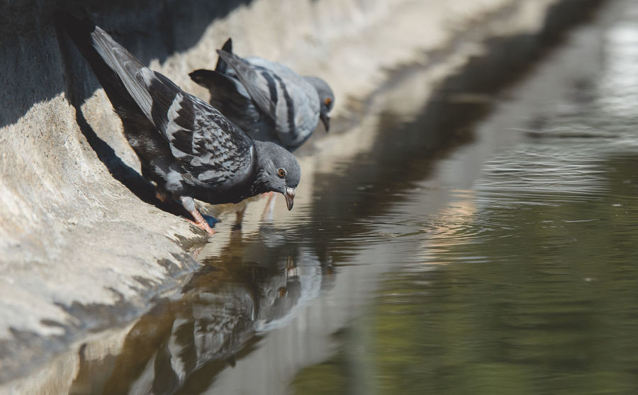 Hot summer Animal Themes Animal Animal Wildlife Animals In The Wild Vertebrate Bird Water No People One Animal Day Nature Selective Focus Lake Waterfront Black Color Outdoors Reflection Drinking