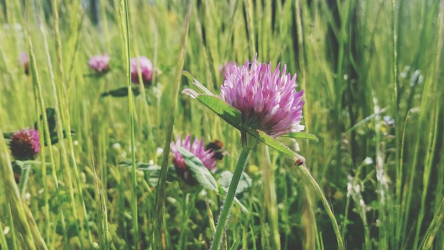 Faded Bee Flower Head Flower Thistle Purple Petal Close-up Grass Plant Green Color In Bloom Wildflower Blooming