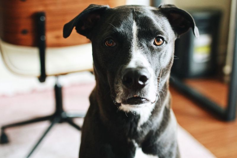 Dog Pets Portrait Looking At Camera Day EyeEmNewHere Summer Puppy Pitbull Indoors