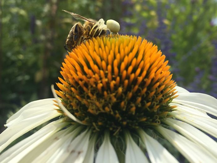 Hungry Cruel Nature Cruelty Arachnid Insect Food Eat And Be Eaten Nature Killing Time Spider Bee Looser Winner Killing Echinacea Close-up Freshness Yellow Growth Petal Beauty In Nature
