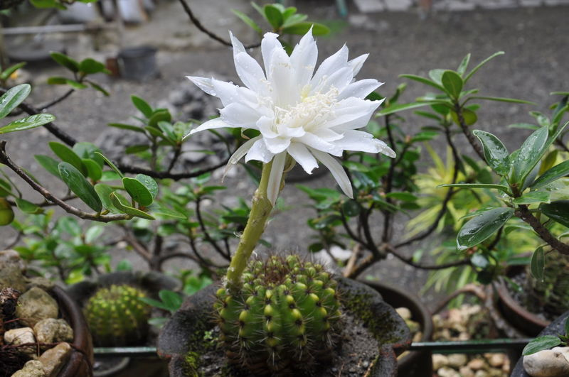 Rare cactus flower Beauty In Nature Blooming Botany Flower Freshness Leaf Nature Petal Plant
