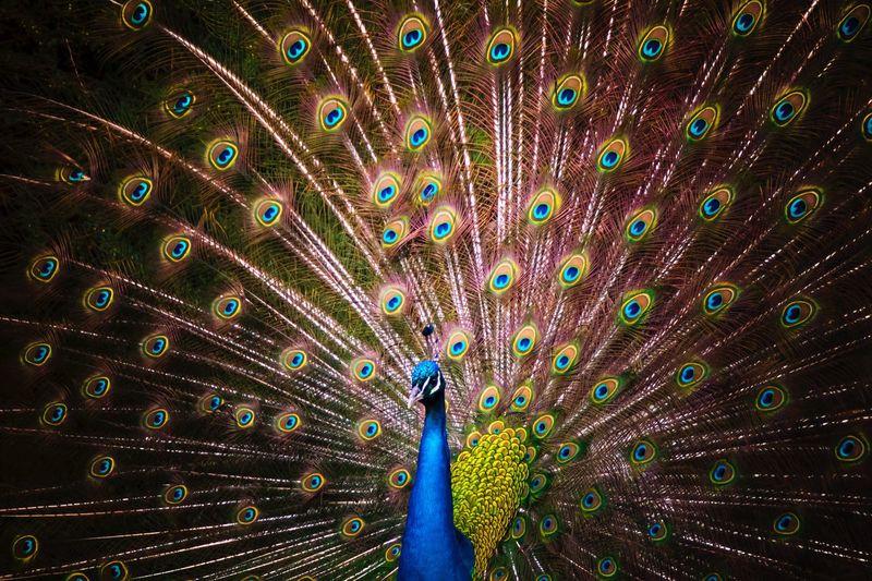 Full frame shot of peacock