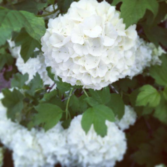May favorite flower Hydrangea Flower Favorite