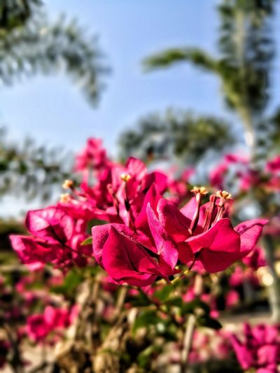 Bunga kertas Bunga Red Flower Pink Color Beauty In Nature Petal No People Freshness Flower Head Outdoors Close-up Plant Day Sky Growth