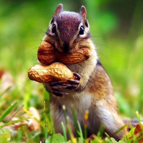 Today Irina.A forum, chipmunks. BE AWARE: I have almost worked on this for three months! Animals Nature