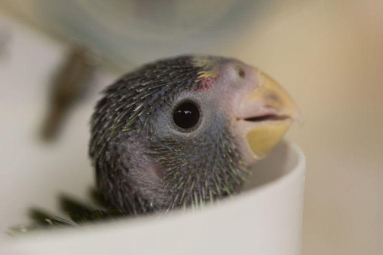 Pecker Animal