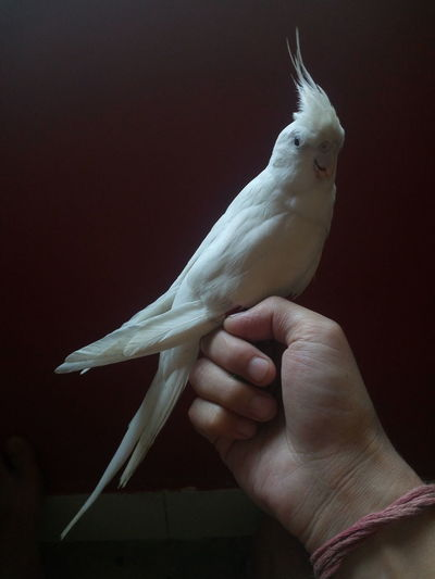 Cropped hand with cockatoo in dark