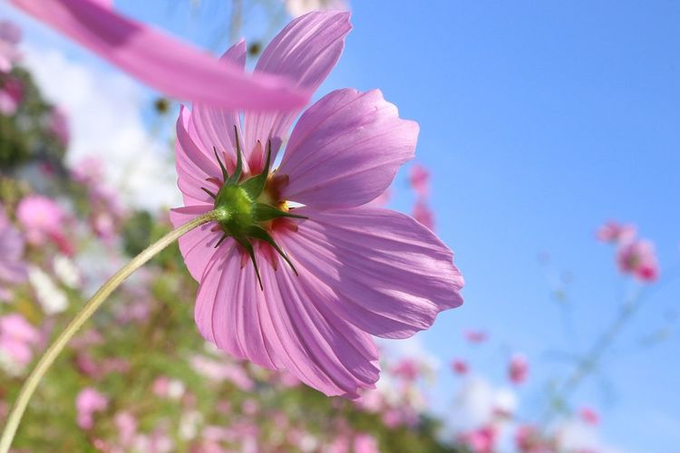Flower Fragility Petal Pink Color Flower Head Nature Plant Growth Beauty In Nature Day Freshness Close-up No People Outdoors Sky コスモス お写ん歩 花 Japan Flowers Pink Cute Nature お散歩 秋桜