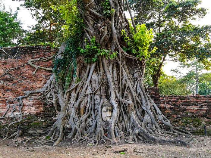 Head buddha image in the tree at Mahathat Temple Ayutthaya Tree Outdoors Day Architecture No People Growth Built Structure Nature Sky Ancient Civilization Head Buddha Under The Rood Tree In Ayutthaya, Thailand Ayutthaya Historic Park Ayutthaya | Thailand Buddha Image UNESCO World Heritage Site Holiday - Event Travel Destinations Buddhism Culture Buddha Face mahathattemple Archaeological Sites Wonderful Tree Ayutthaya Head In Tree Postcode Postcards
