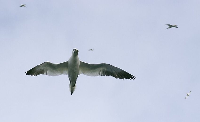 gannet off Hirta St Kilda, taken from an inflatable boat. Animal Themes Bird Flying Animals In The Wild Spread Wings Wildlife Mid-air Flight Avian Birds_collection Birds Of EyeEm