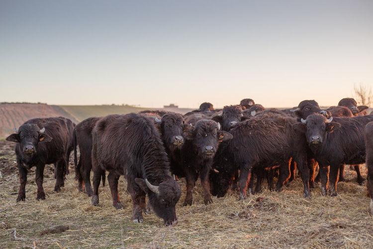 Buffaloes Grazing On Field Against Clear Sky