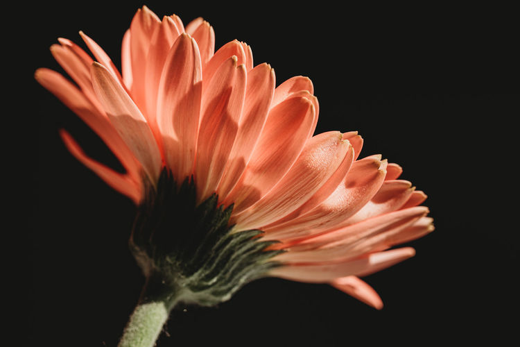 Close-up of orange flower against black background