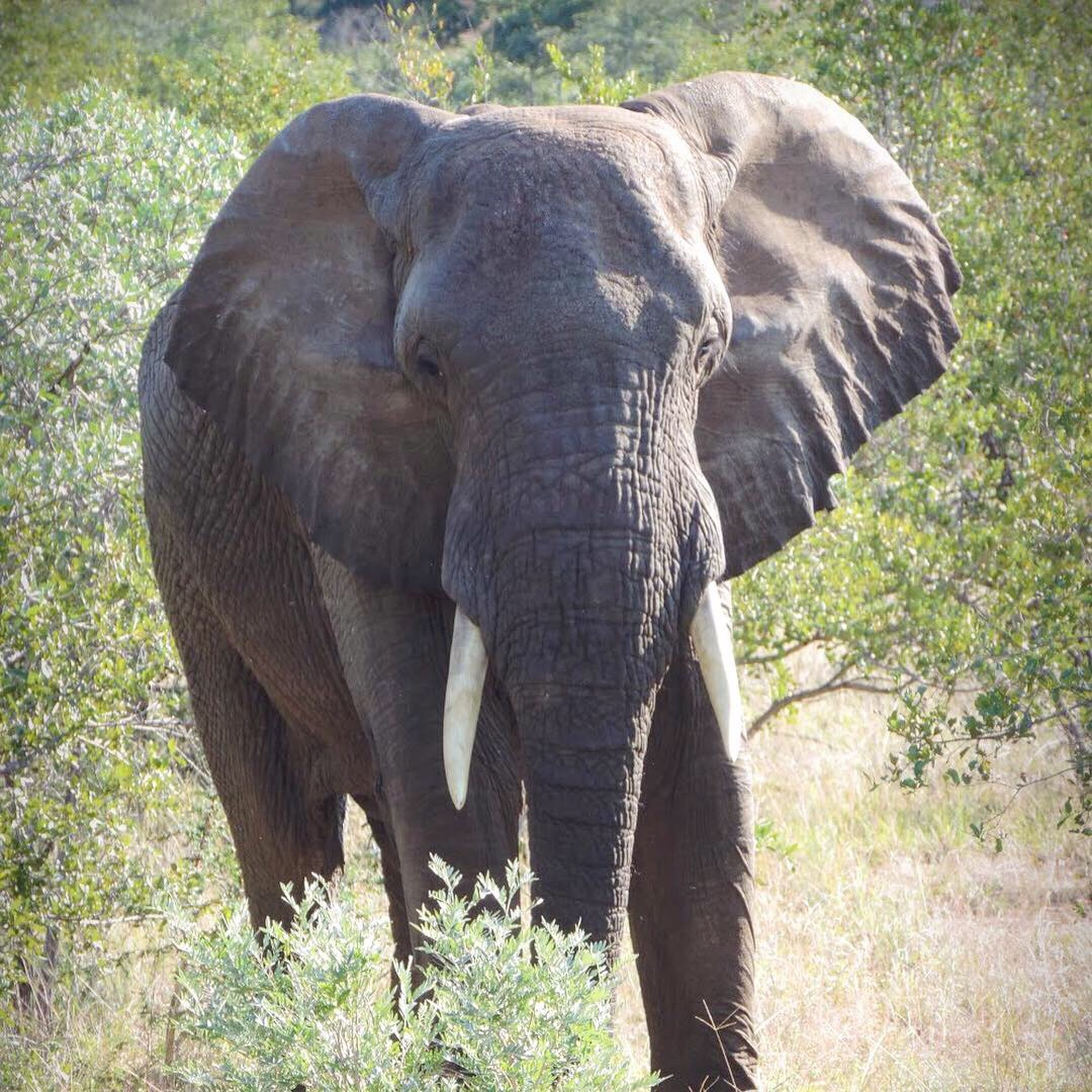 animal themes, animal, elephant, animals in the wild, one animal, animal wildlife, mammal, animal body part, african elephant, plant, no people, grass, front view, day, animal trunk, tusk, vertebrate, safari, forest, outdoors, herbivorous, animal head