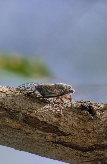 Close-up of cicada on branch