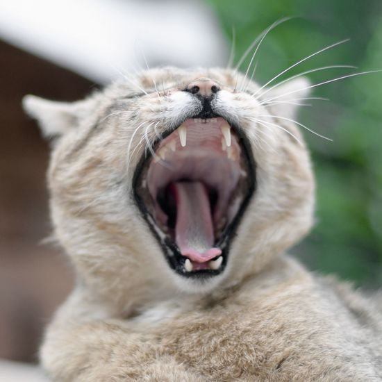 Close-up of cat yawning outdoors