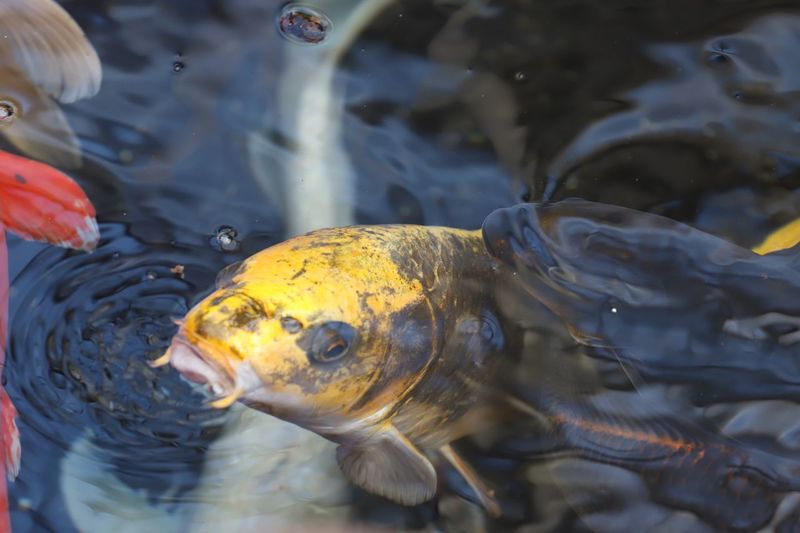 Close-up of koi carps swimming in pond