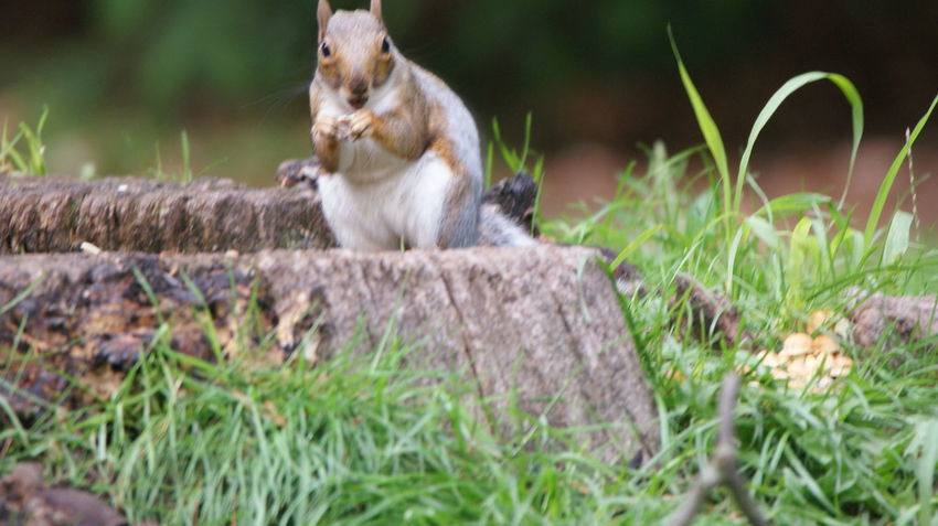 Squirrel Animal Wildlife Animals In The Wild Day Eating Full Length Grass Holding Mammal Nature No People One Animal Outdoors Plant Rodent Sitting Solid Vertebrate