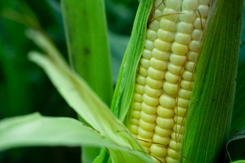 Plant Raw Food Vegetable Farm Yellow Green Corn Seed Plant Leaf Plant Part Corn On The Cob Vegetable Crop  Green Color Close-up Nature Snake