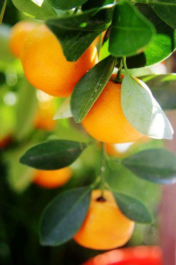Close-up of orange fruit growing on tree